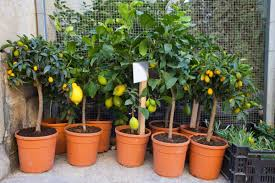 want to grow this lemon plant in pot plant talk
