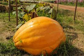 Types Of Pumpkins And Squash by Growing Pumpkins With Milk U2013 Tips On Using Milk To Grow Pumpkins