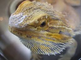 Bearded Dragon Shedding A Lot by Shedding Questions With Pics U2022 Bearded Dragon Org