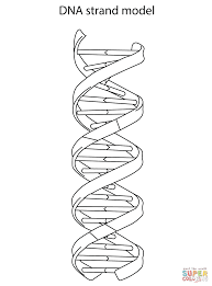 DNA Structure And Bases Coloring Page
