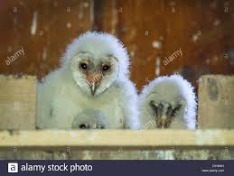 Elkton, Oregon, USA. 6th Apr, 2014. Barn Owl Owlets Perch In Their ... Chris Eastern Screech Owl Nest Box Cam For 2001 Three Cute Barn Owlets Getting Raised In Kodbakkam Chennai 077bojpg Needle Felted Owlet Baby Outdoor Alabama Escapes And Photography Owls Owlets At Charlecote Park Robin Loznak Barn Owls Oregon Overheated Chicks Rescued Hungry Project 132567 2568 2569 2570 The Wildlife Center Wallpaper Archives Trust Young Thrive On Harewood Estate House By Michael A Eccles