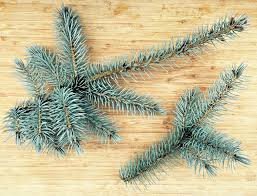 Christmas Tree Species Nz by Foraging For Pine Needles And Other Conifer Needles
