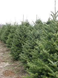 Fraser Fir Christmas Trees Nc by Santa U0027s Choice Christmas Tree Farm Growers Specializing In