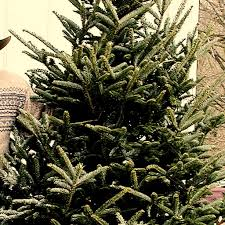 Popular Christmas Tree Species by Types Of Trees Galehouse Tree Farm