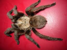 Do Tarantulas Shed Their Legs by Common Usa Spiders At Spiderzrule The Best Site In The World