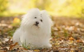 Small Dogs That Dont Shed Hair by Types Of Small Fluffy Dogs