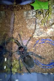 the tarantula death curl tom s big spiders