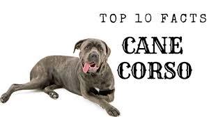 Cane Corso Italiano Shedding by Cane Corso Top 10 Interesting Facts Youtube