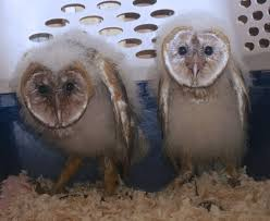 Baby Barn Owls - YouTube Barn Owl Focus On Cservation Best 25 Baby Ideas On Pinterest Beautiful Owls Barn Steal The Show As Day Turns To Night At Heartwood Family Ties Owl Chicks Let Their Hungry Siblings Eat First The Perch Uncommon Banchi Baby Coastal Home Giftware From Horizon Stock Image Image Of Small Young Looking 3249391 You Know Birdnote Banding By Alex Lamoreaux Nemesis Bird