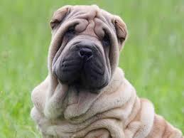 Do Shar Peis Shed A Lot by Low Shedding Dog Breeds Low Shedding Dog List