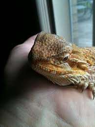 what is this possible uri bearded dragon org