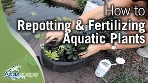 Aquascape Patio Pond Australia by Repotting U0026 Fertilizing Aquatic Plants Youtube