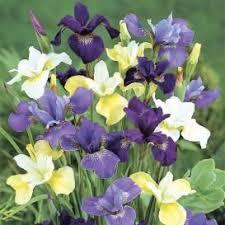 best 25 iris bulbs for sale ideas on iris for sale