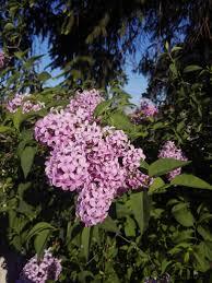 fleur et plante du lac images gratuites la nature lac botanique jardin flore fleur