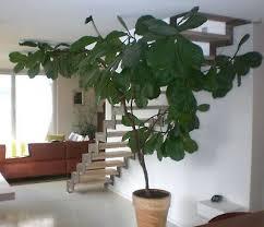 feigenbaum pflanze zimmerpflanze riesig groß feige im