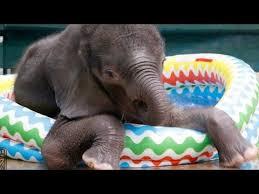 Watch Adorable Baby Elephant Make A Splash Stumbling Around Kiddie Pool