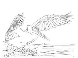 Pelicans Coloring Pages