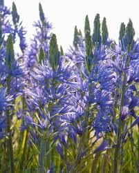 camassia blue donau bulbs buy at farmer gracy uk