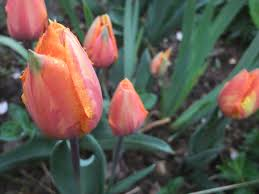 tulips are go the patient gardener