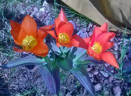 fall flower bulbs to plant for