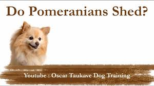 Do All Dogs Shed Their Fur by Do Pomeranians Shed Youtube