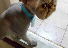 haired cat cat s new do makes it looks like he s wearing a cat mask the dodo