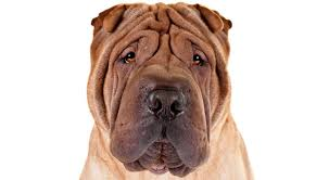 Do Shar Peis Shed A Lot by Chinese Shar Pei Dog Breed Information American Kennel Club
