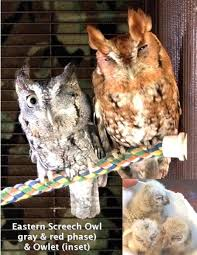 Whoooooo Loves Owls? | Friends Of Texas Wildlife White Screech Owl Illustration Lachina Bbc Two Autumnwatch Sleepy Barn Owl Yoga Bird Feeder Feast And Barn Wikipedia Attractions In Cornwall Sanctuary Wishart Studios Red Eastern By Ryangallagherart On Deviantart Owlingcom Biology Birding Buddies 2000 Best 2 Especially Images Pinterest Screeching Youtube