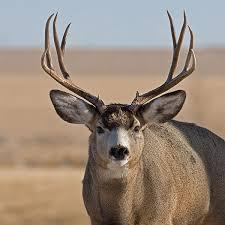 Deer Antler Shedding Cycle by Nevada Department Of Wildlife
