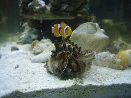 Halloween Hermit Crab Molting by White Spotted Hermit Crab Help Reef2reef Saltwater And Reef