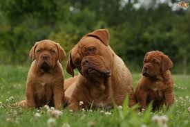 Big Dogs That Dont Shed Badly by Dogue De Bordeaux Dog Breed Information Buying Advice Photos And