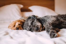 Free stock photo of animals bed calm