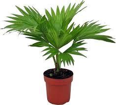 palmier éventail livistona entretien arrosage rempotage