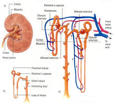 High Ceiling Diuretics Meaning by 3 Drug Class 3 4 5 6 Thiazides K Sparing Diuretics Loop