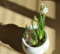 forcing bulbs indoors how to a bulb to bloom