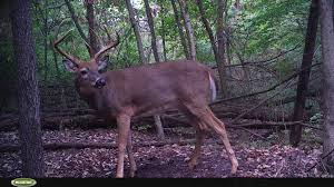 Deer Antler Shed Hunting by Shed Hunting For Deer Antlers Nets A Big Side