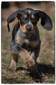 Do Bluetick Coonhounds Shed by Bluetick Coonhound Dog Grand Bleu De Gascogne Hounds Dogs