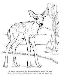 White Tail Deer Animal Identification Drawing Coloring Page Free Printable Pages Featuring Wild Animals