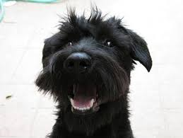 Do Giant Schnauzer Dogs Shed Hair by Miniature Schnauzer Puppy Training U0026 Miniature Schnauzer Dog Pictures