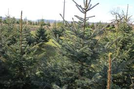 Types Of Christmas Trees To Plant by December Christmas Trees Real Vs Artificial Greenroots Landscaping