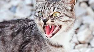 aggressive cat how to deal with a cat that scratches or bites howcast the