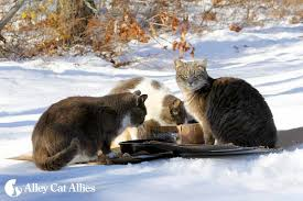 alley cats arlington follow these tips to help stray and feral cats survive the cold