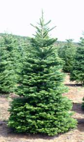 NOBLE FIR Long Considered An Excellent Christmas Tree