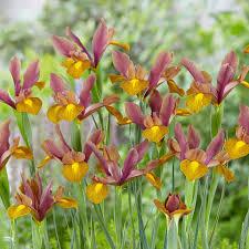 iris king dutchgrown