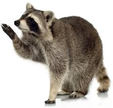 Cooldesign How To Get Rid Of A Raccoon In Your Backyard ... Time To Start Culling Torontos Nasty Raccoons Hepburn Toronto Star Raccoon Removal Indianapolis Backyard Raccoons Youtube How To Get Rid Of In Your Bathroom Wall Mirrors Cooldesign A Getting Keep Away From Garden Out Yard The Survive And Thrive 65 Animal Statues Decor Wild And Domestic Identify Of In The 11 Strategies For Doityourself Pest Control Family Hdyman
