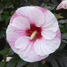 hibiscus shrub plants a must perennial plant for a