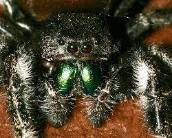 Do Tarantulas Molt Upside Down by Answers To Questions About Spiders At Spiderzrule The Best Site