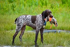 Best Hunting Dogs That Dont Shed by Medium Sized Dogs That Dont Shed Dog Breeds