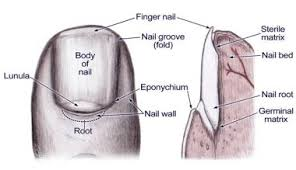nail bed laceration repair overview indications contraindications