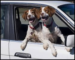 14 best all about brittany spaniels images on pinterest brittany